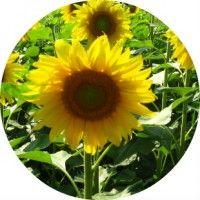 Цілющі властивості кореня соняшника в рецептах народної медицини