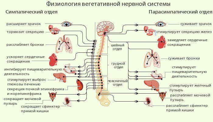 Вегетативна нервова система лікування