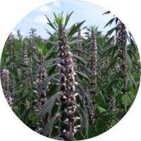 Лікувальне застосування трави пустирника