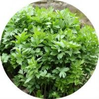 Лікувальні властивості і протипоказання до трави любисток