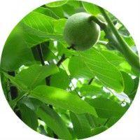 Лікувальні властивості листя волоського горіха в рецептах народної медицини