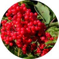 Застосування плодів, кори і листя бузини червоної в народній медицині