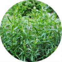Застосування трави тархун (естрагон) в народній медицині